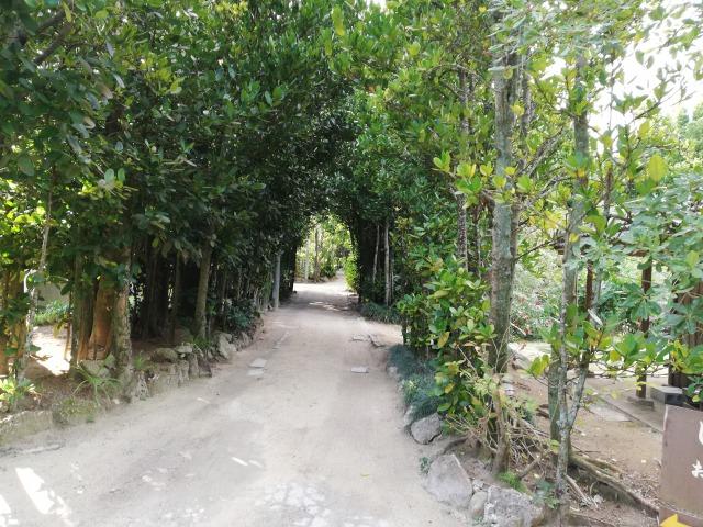 備瀬のフクギ並木1